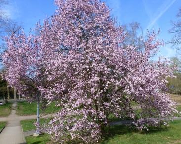 rosaner Blütenbaum