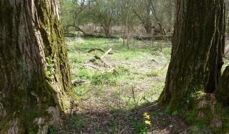 eine Osterglocke zwischen den Bäumen