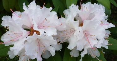 weißer Rhododendronblüten