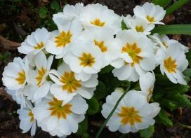 Weiße Primel wunderschön