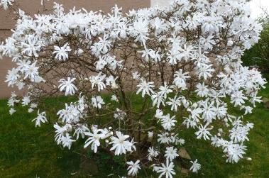 weißer Frühlingsbusch