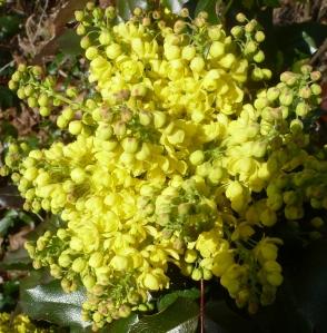 gelbe Mahoniebusch