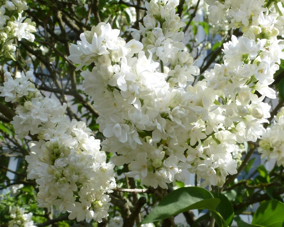 weiße Fliederblüten