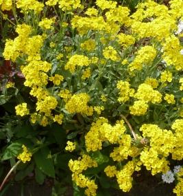 gelber Steinbrechbusch