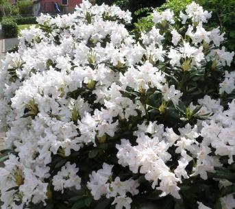 weiße Hortensienstrauch