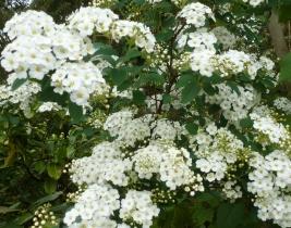weißer Steinbrechbusch