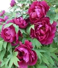 Pfingstrosenblüten