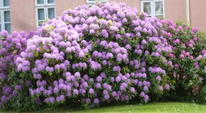 Rhododendronbusch im Park